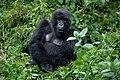 A mountain gorilla from Susa Group in Karisimbi thicket of Volcanoes National Park in Rwanda. Emmanuel Kwizera.jpg