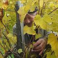 A picker picks Vignoble du Jurançon Vendangeur récoltant du petit manseng.jpg
