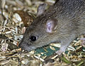 A small mouse (6223310083).jpg
