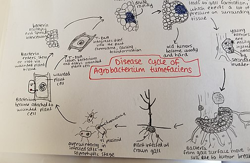 Disease cycle Agrobacterium tumefaciens