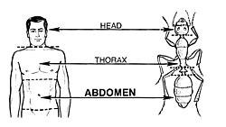 Abdomen (PSF).jpg