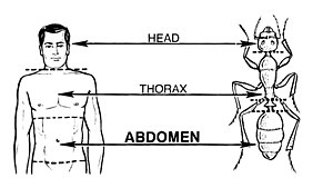 Abdomen - The analogous gross morphologies of a human and an ant