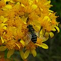 Abeille ? bee ? (2732265914).jpg