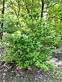 Abelia chinensis - Villa Taranto (Verbania) - DSC03858.JPG