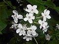 Abelia mosanensis 2016-05-31 1531.jpg
