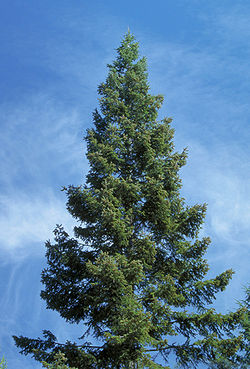 Abies grandis crown youngtree.jpg