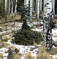 Abies lasiocarpa with deer browsing damage.jpg