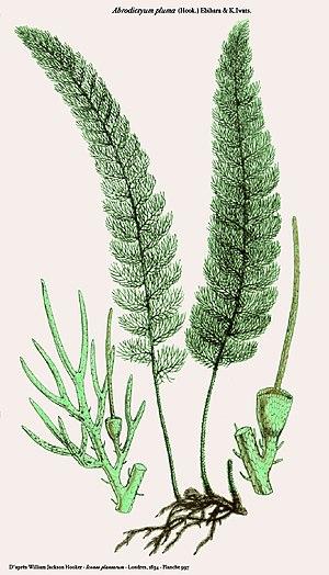 Icones Plantarum - Abrodictyum pluma