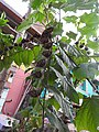 Abroma augustum-1-papanasam-tirunelveli-India.jpg