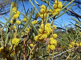 <i>Acacia cana</i> species of plant