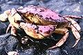 Acadia National Park, Jonah crab.jpg