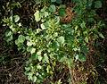 Acalypha indica W IMG 4070.jpg
