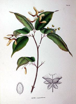 Hornbeam-leaved maple (Acer carpinifolium, illustration)
