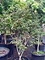 Acer palmatum Bloodgood 0zz.jpg