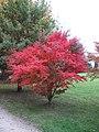 Acer palmatum atropurpureum (Rentilly).jpg