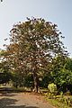 Acharya Jagadish Chandra Bose Indian Botanic Garden - Howrah 2011-01-08 9800.JPG