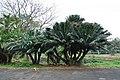 Acharya Jagadish Chandra Bose Indian Botanic Garden - Howrah 2011-02-20 1564.JPG