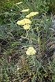 Achilea sp. Asteraceae 09.jpg