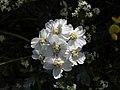 Achillea clavennae - Steinraute I.jpg