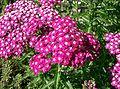Achillea millefolium cv2.jpg