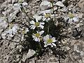Achillea oxyloba (584 583b) - 3. Tag Rosengarten-Tour (9653655340).jpg