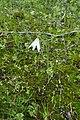 Acis trichophylla kz08 Morocco.jpg