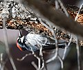 Acorn Woodpecker (34022002695).jpg