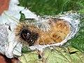 Acronicta auricoma (larva) - Scarce dagger (caterpillar) - Стрельчатка буровато-серая (гусеница) (39244211660).jpg