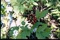 Actaea rubra 4-eheep (5097217931).jpg
