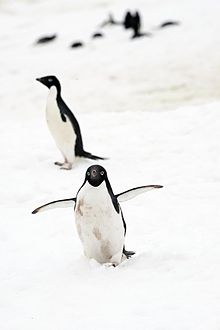 Adelie Penguins (8373702449).jpg