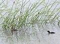 Aenigmatolimnas marginalis, haan en kuiken, Kgomo-kgomo-vleiland, Birding Weto, b.jpg