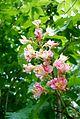 Aesculus x carnea - Flickr - odako1.jpg