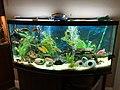 African Cichlid Fish Tank.jpg