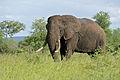 African Elephant (Loxodonta africana) (16478278169).jpg