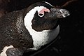 African Penguin Close-up.jpg