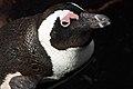African Penguin Close-up.jpg