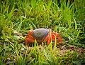African Rainbow Crab.jpg