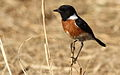 African Stonechat, Saxicola torquatus at Rietvlei Nature Reserve, South Africa (10055147706).jpg