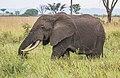 African elephant (Loxodonta africana) 3.jpg