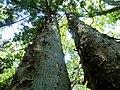 Afrocarpus falcatus, habitus, a, Manie van der Schijff BT.jpg