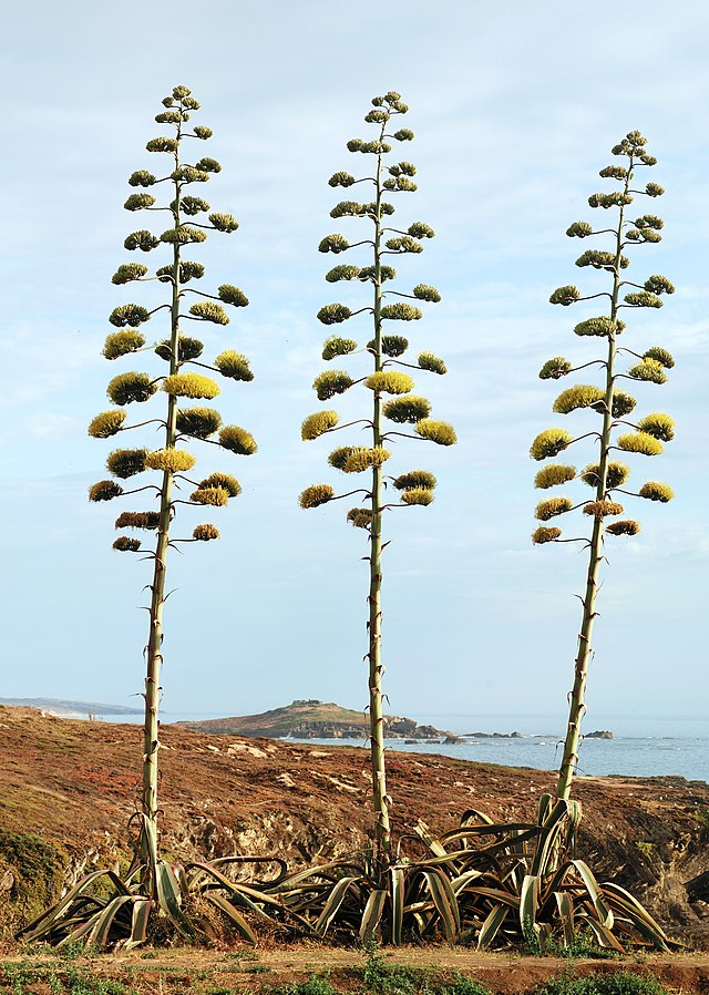 640px-Agave_July_2011-1.jpg