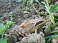 Agile frog - Rana dalmatina - Горска дългокрака жаба.jpg