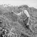 Agriculture in Britain- Life on Mount Barton Farm, Devon, England, 1942 D9908.jpg