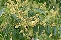 Ailanthus altissima* (8349675726).jpg