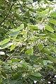 Alangium chinensis floraison.jpg