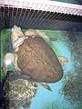 Albino Loggerhead Sea Turtle 01.jpg