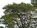 Albizia saman (Raintree) (10).jpg