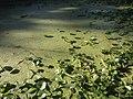 Algas em lagoa.jpg