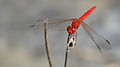 All-red dragonfly (15874489417).jpg