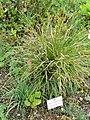 Allium cyathophorum - Botanischer Garten München-Nymphenburg - DSC07607.JPG